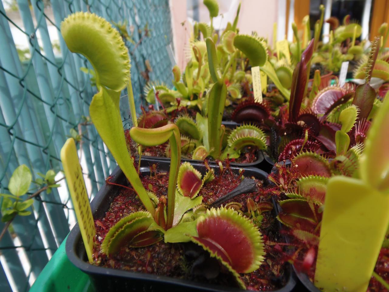 plante carnivore dionaea 39 sunrise 39. Black Bedroom Furniture Sets. Home Design Ideas
